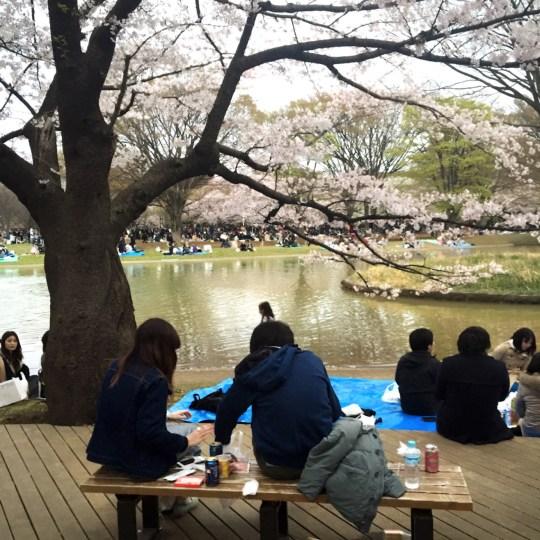 japan free sight sakura in tokyo