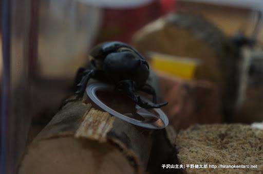 餌を食べるカブトムシ