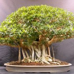 Bonsai Mango Tree Cost Bonsai Tree