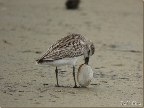 sandpiper with clam stuck_009