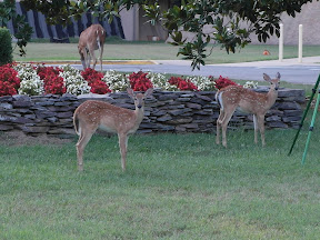 This is not telephoto, I was within ten feet of these deer.