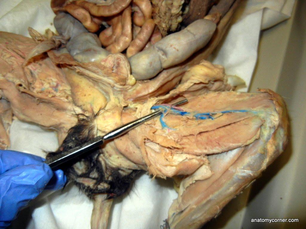 Femoral Artery Vein