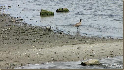 birding south beach_069