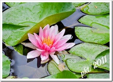 DSC_3291pink-lily