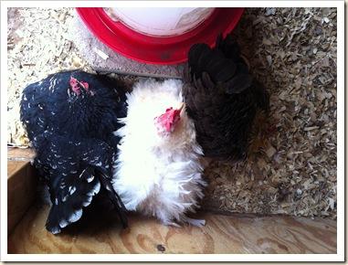 3 nesting hens