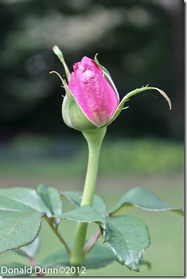 Kay's favorite rose bud, Annapolis Royal Historic Gardens, Nova Scotia