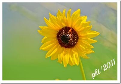 DSC_7219sunflower