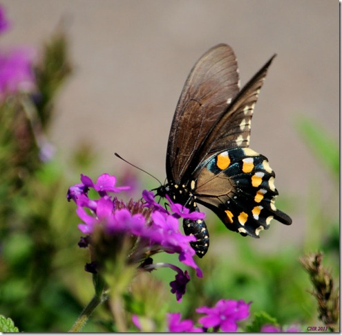 photoshare Black Swallowtail Memphis TN WeatherRose