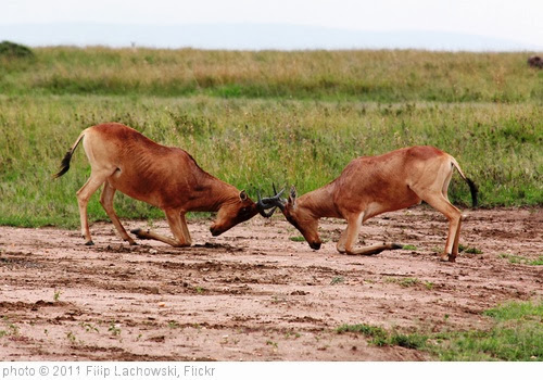 'Fighting Hartebeest' photo (c) 2011, Filip Lachowski - license: http://creativecommons.org/licenses/by-sa/2.0/