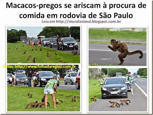 Macacos-pregos se ariscam à procura de comida em