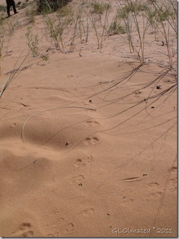 07 tracks in sand Coral Pink Sand Dunes SP UT (768x1024)
