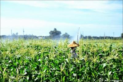 玉米田施肥