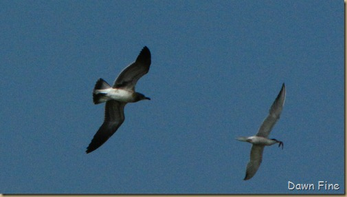 birding south beach_018