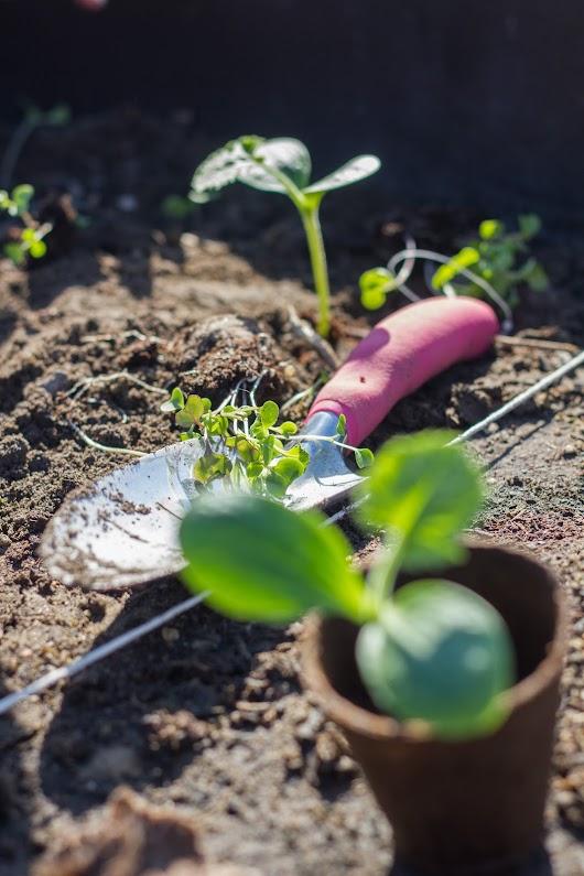 Udplantning af gule squash - Mikkel Bækgaards Madblog