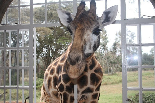 giraffa-maniero-7
