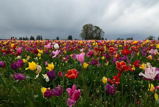 Woodburn Tulips_022