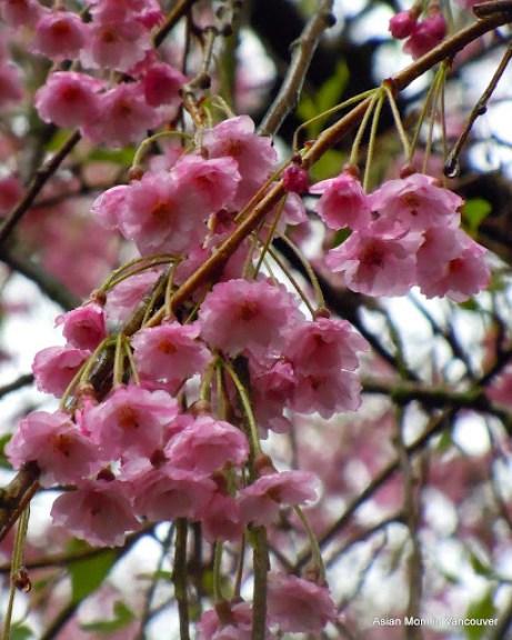 八重紅垂櫻 Yae-bani-shidare, 複瓣, 故稱八重.