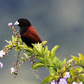 Chestnut Munia.jpg