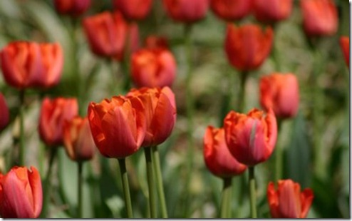 red-tulips-137-400x250