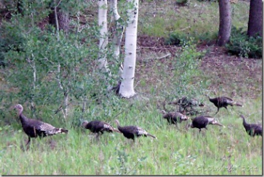 02 Merriam turkeys SR67 Kaibab NF AZ (1024x683)