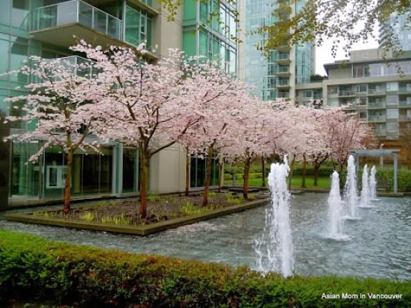 吉野櫻與噴泉的對話