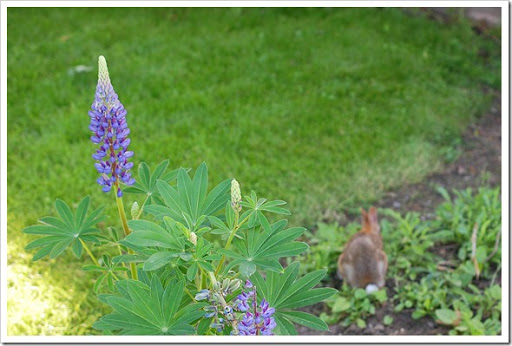 rabbit lupine
