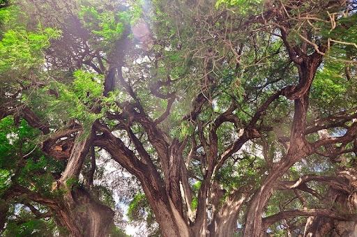 tule-tree-1