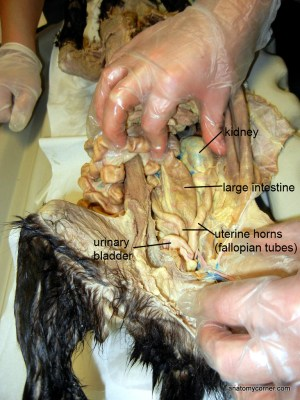 cat_large_intestine_LJPG
