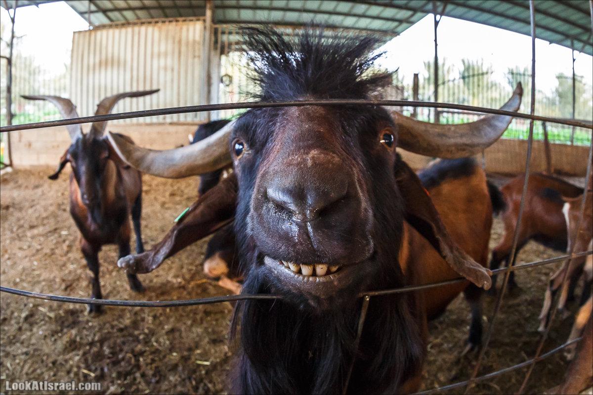 Менахемия - от козьей фермы до медицинского музея
