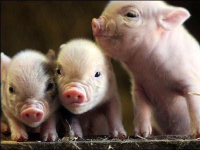 сколько свинок надо отравить?