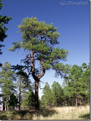 Y-shaped ponderosa pine along Cape Final trail North Rim Grand Canyon National Park Arizona