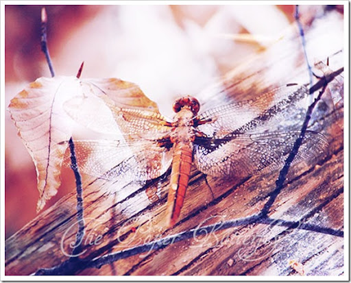DRAGONFLY BIRCH 810 WM