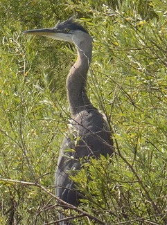 heron on Emigrant Lake
