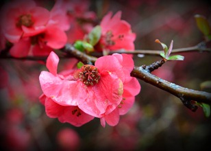 I found some color at the campground, the quince is blooming