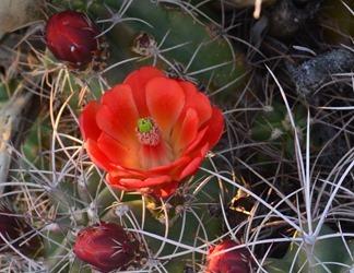Mojave mound cactus echinocereus triglochidiatus