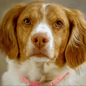 download Brittany Spaniel Wallpapers apk