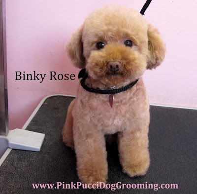 Binky Rose Toy Poodle Full Grooming Cut
