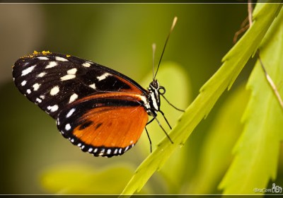 Hecales Longwing (Heliconius hecale)