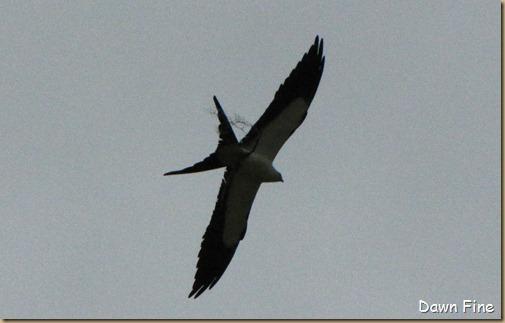 swallowtailed kite_028