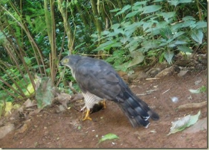 Jackal Buzzard eating Lone Creek Falls Mpumalanga South Africa