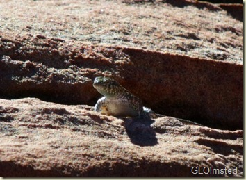 09 Lizard on sandstone at Dam View Page AZ (800x584)