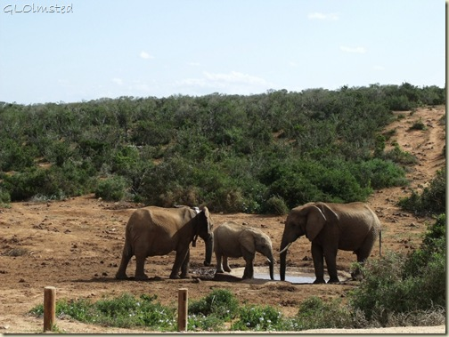 Elephants Addo Elephant National Park Eastern Cape South Africa