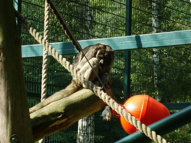 Wyjec czarny - Zoo Oliwa