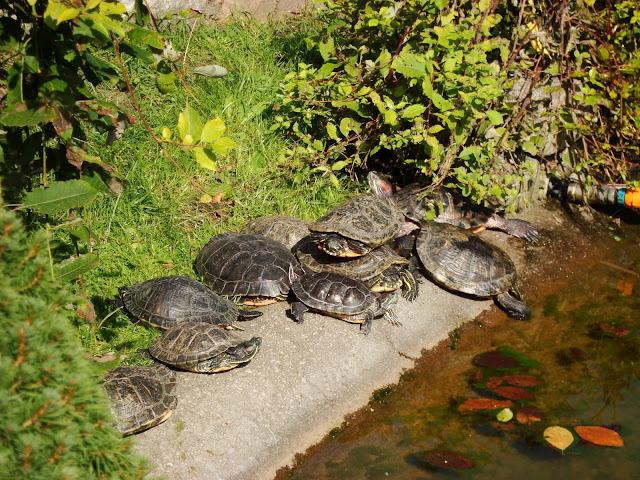 Żółwie czerwonolice - Zoo Oliwa