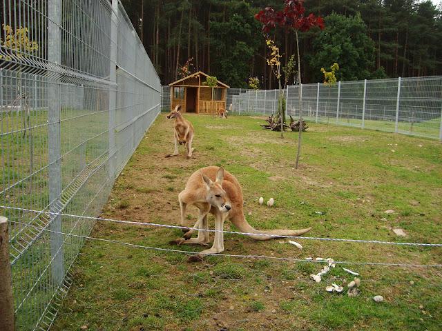 Kangury rude - Zoo Człuchów
