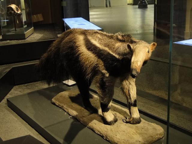 Mrówkojad z Museum fur Naturkunde (fot. ZooDlaDzieci)