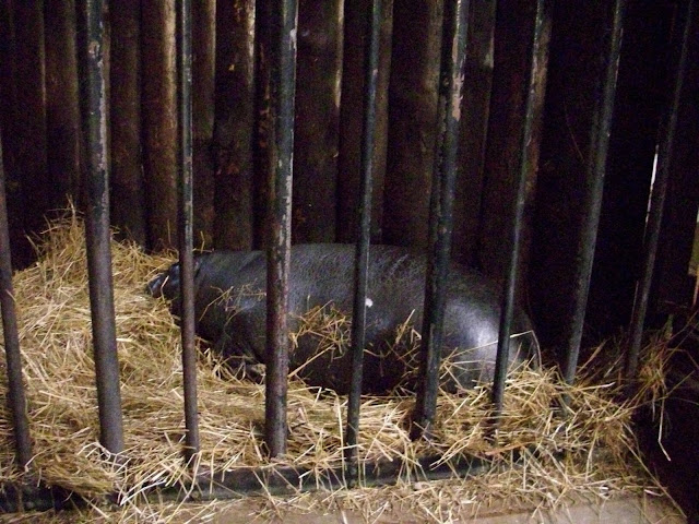 Niewątpliwie jest to hipopotam karłowaty...
