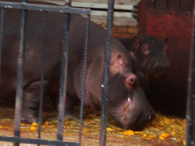 Hipopotamy na zbliżeniu...