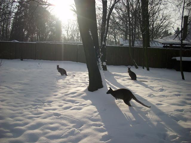 Stado walabii na śniegu