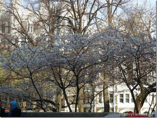 Trees blooming at CCNY.